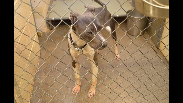 142435 BOISE Male Pit- looks like a pup by Partners for Pets