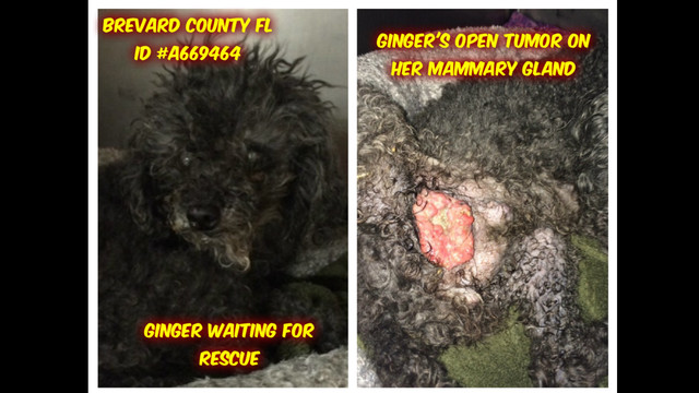 GINGER - Tiny Toy Poodle with a Huge Open Tumor by Just