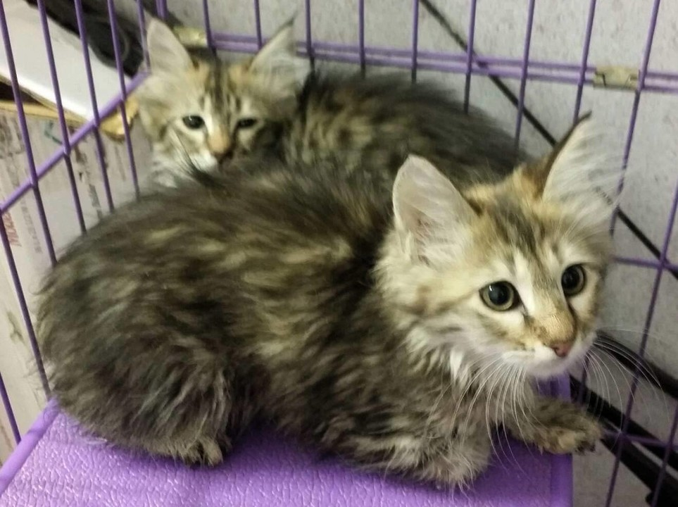 Suffolk County Ny Turkish Angora Case By Paws Unite People Inc