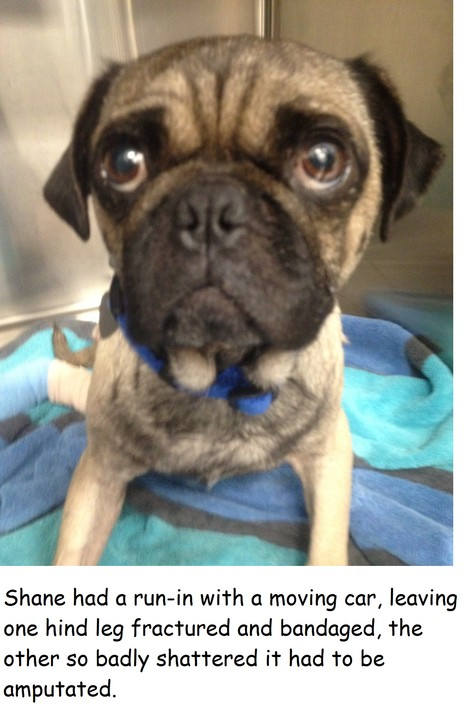Give Special Needs Pugs a Second Chance at a Life! by