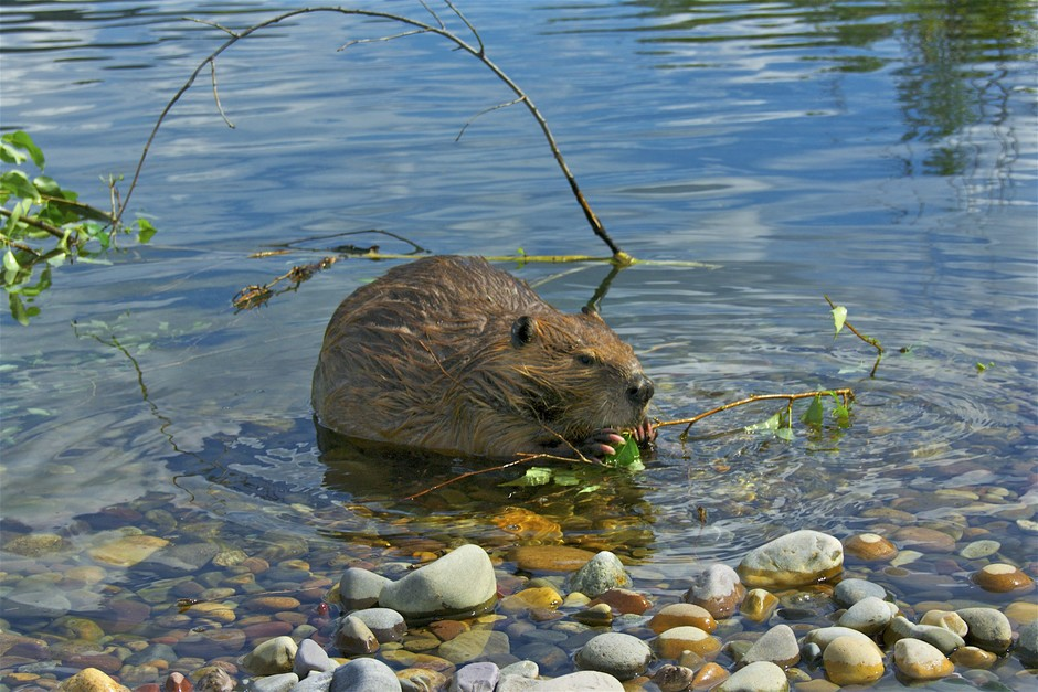 Beavers are commonly important food for wolves in North America and Europe