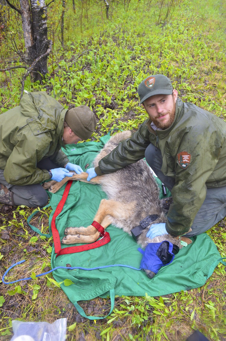 Collaring a wolf in Voyageurs National Park and also collecting biological samples. Austin Homkes, a graduate student, is collecting a blood sample while I (Tom Gable) hold the leg to make the vein in the leg more obvious and easier to get a blood sample.