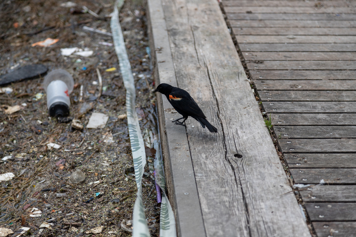 Bird looks at sewage in the Toronto harbour