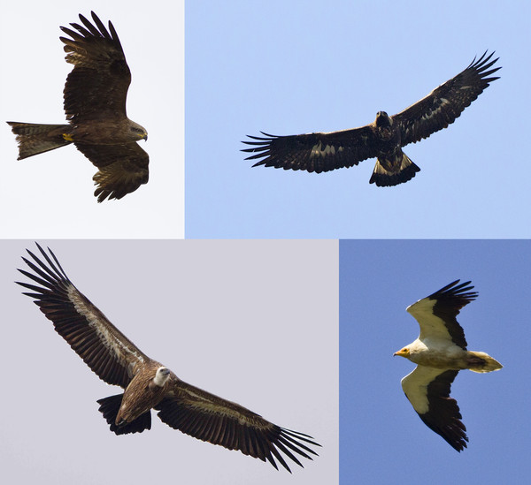 Griffon and Egyptian Vultures, Golden Eagle and Black Kite